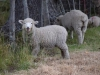 More pet sheep