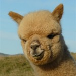 Come see some cute Alpacas!