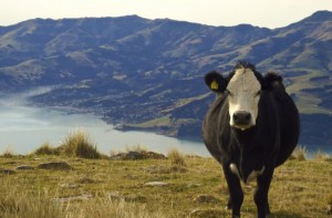 Cattle overlooking Akaroa Harbour